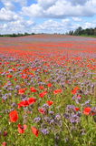 Beautiful summer countryside field of phacelia and poppy seed flowers Stock Photography