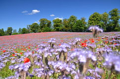 Beautiful summer countryside field of phacelia and poppy seed flowers Stock Images