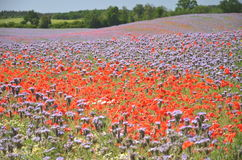 Beautiful summer countryside field of phacelia and poppy seed flowers Royalty Free Stock Photo