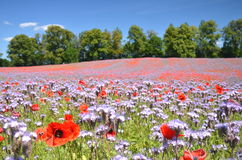 Beautiful summer countryside field of phacelia and poppy seed flowers royalty free stock images