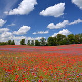Beautiful summer countryside field of phacelia and poppy seed flowers royalty free stock image