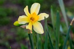 Beautiful summer Cyclamineus daffodils. Close-up Stock Images