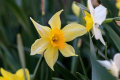 Beautiful summer Cyclamineus daffodils. Close-up Royalty Free Stock Image