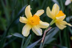 Beautiful summer Cyclamineus daffodils. Close-up Stock Photography
