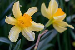 Beautiful summer Cyclamineus daffodils. Close-up Royalty Free Stock Photography