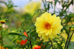 Beautiful summer dahlias in the home garden Royalty Free Stock Photos