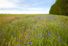 Beautiful summer field. Royalty Free Stock Photos