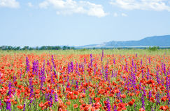 Beautiful summer field. Royalty Free Stock Photos