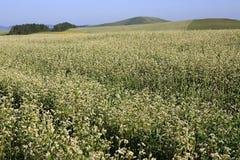 Beautiful summer field of buckwheat Stock Photo