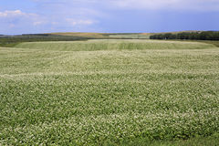Beautiful summer field of buckwheat Royalty Free Stock Images