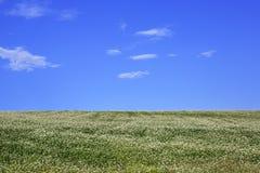 Beautiful summer field of buckwheat and a blue sky Stock Image