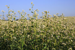 Beautiful summer field of buckwheat. Plant close Royalty Free Stock Photography