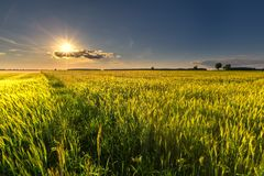 Beautiful summer field with green cereal Stock Photo