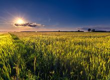 Beautiful summer field with green cereal Royalty Free Stock Image