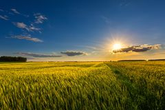 Beautiful summer field with green cereal Royalty Free Stock Photography