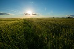 Beautiful summer field with green cereal Stock Images