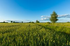 Beautiful summer field with green cereal Stock Image