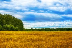 Fields, Forests, Clouds, Nature and Relaxing. Beautiful summer field with a high yellow grass Stock Photos