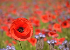 Beautiful summer field of phacelia and poppy seed flowers Stock Images