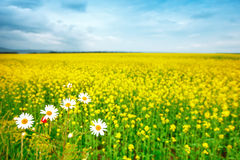 Beautiful summer field with yellow flowers and daisies. Royalty Free Stock Image