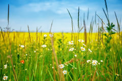 Beautiful summer field with yellow flowers and daisies. Royalty Free Stock Photography