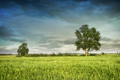 Beautiful summer fields of wheat Stock Photography