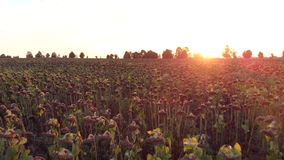 Flight over field of dried sunflower at the sunset. Beautiful, summer flight over the field of dry sunflower at sunset stock video footage