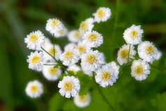 Beautiful summer flower. In the garden, white and yellow tone Royalty Free Stock Photo