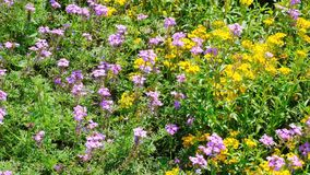 Beautiful summer flower blooming. In the flower bed video sketch, shot close-up on a bright sunny day in high resolution 4k stock footage
