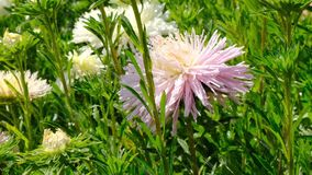 Beautiful summer flower blooming. In the flower bed video sketch, shot close-up on a bright sunny day in high resolution 4k stock video