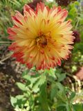Beautiful Summer Flower. This is a beautiful Dahlia in a flower garden blooming in late summer Stock Photography