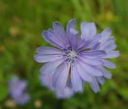 Chicory on a meadow royalty free stock images