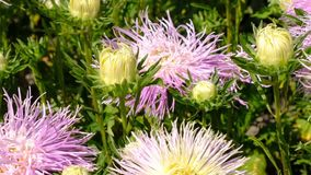 Beautiful summer flower video sketch. Blooming asters in the flower bed, filmed using zooming and moving the camera stock footage