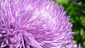 Beautiful summer flower video sketch. Blooming asters in the flower bed, filmed using zooming and moving the camera stock video