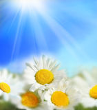 Beautiful summer flowers. The sun in the background Royalty Free Stock Images