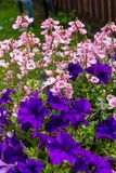 Beautiful Summer flowers in the big flowerpot, violet petunias, pale pink nemesia. Close up royalty free stock photography