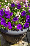 Beautiful Summer flowers in the big flowerpot, violet petunias, pale pink nemesia. Close up royalty free stock photos