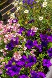 Beautiful Summer flowers in the big flowerpot, violet petunias, pale pink nemesies. Beautiful Summer flowers in the big flowerpot, violet petunias, pale pink Stock Images