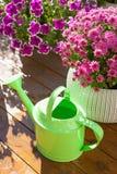Beautiful summer flowers in flowerpots in garden. chrysanthemum,. Petunia, watering can Stock Photo