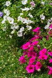 Beautiful, Summer flowers in the home garden, blue hydrangeas and petunias. Close up Royalty Free Stock Images