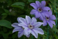 Beautiful summer flowers in a vertical garden gardening. Flower lilac clematis close-up. Flower Clematis varieties Baltyk. Flowering plant close-up. Beautiful stock photos