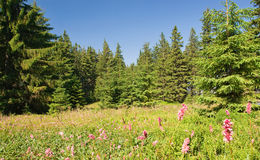 Beautiful summer forest. Sunny summer forest on the hills with lots of pink flowers and green trees Royalty Free Stock Photo