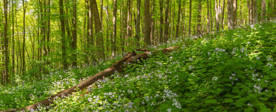 Beautiful summer forest of beech tree and lunaria flowers in sunlight. Panorama of amazing beauty of summer forest Royalty Free Stock Photography