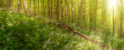 Beautiful summer forest of beech tree and lunaria flowers in sunlight. Panorama of amazing beauty of summer forest Royalty Free Stock Photos