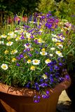 Beautiful, Summer garden with amazing blossom. In big flowerpots Stock Photography