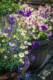 Beautiful, Summer garden with amazing blossom in big flowerpots. On a sunny day Royalty Free Stock Photo