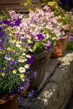 Beautiful, Summer garden with amazing blossom in big flowerpots. On a sunny day stock images