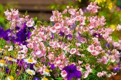 Beautiful, Summer garden with amazing blossom in big flowerpots. M. Nemesis, daisies, blue lobelia Stock Photography