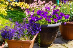 Beautiful, Summer garden with amazing blossom in big flowerpots. On a sunny day Royalty Free Stock Photos
