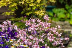 Beautiful, Summer garden with amazing blossom in big flowerpots Royalty Free Stock Photo